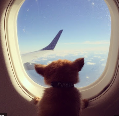 Flying With An Emotional Support Animal