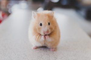 ESA hamster eating