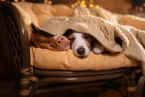 Dog Jack Russell Terrier And Dog Nova Scotia Duck Tolling Retrie