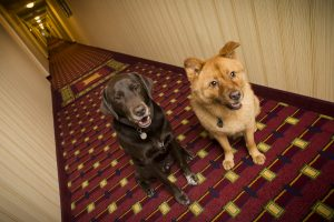 Dogs sitting in pet friendly hotel hallway