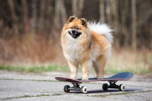 adorable spitz dog standing on a skateboard
