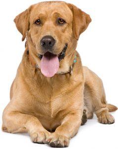 adult-dog