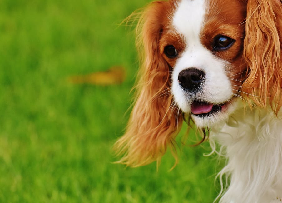 image of dog cavalier