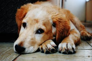 dog-laying-down-in-wooden-floor