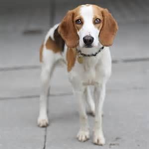 american foxhound beagle mix