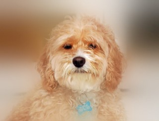 The Adorable Cockapoo- Is it the Right Pet for You?