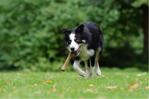 image of a collie running towards you