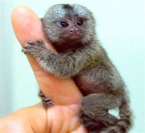 A Finger Monkey: The Complete Guide