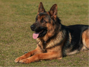 image of a german shepherd resting