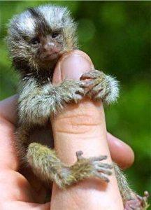 tiny finger monkey