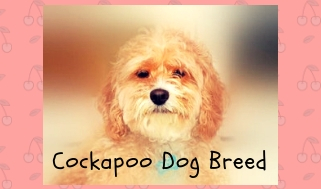 Cockapoo dog breed