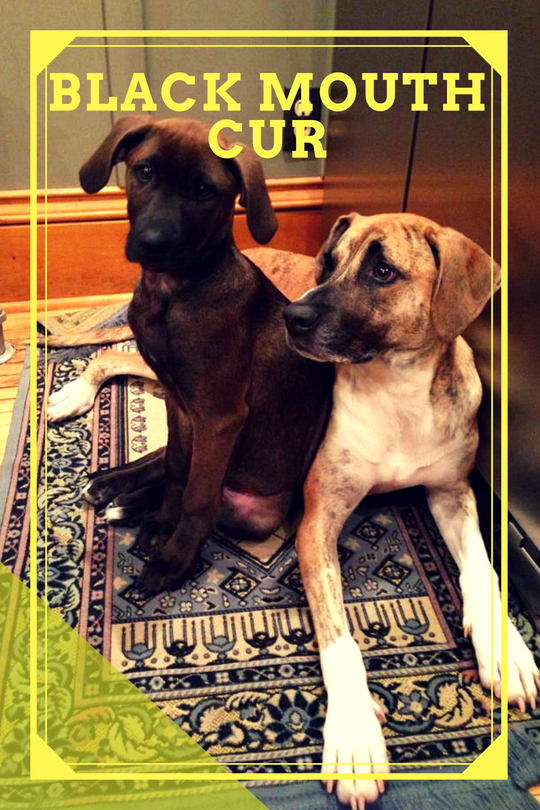 Two Black Mouth Cur sitting on the carpet