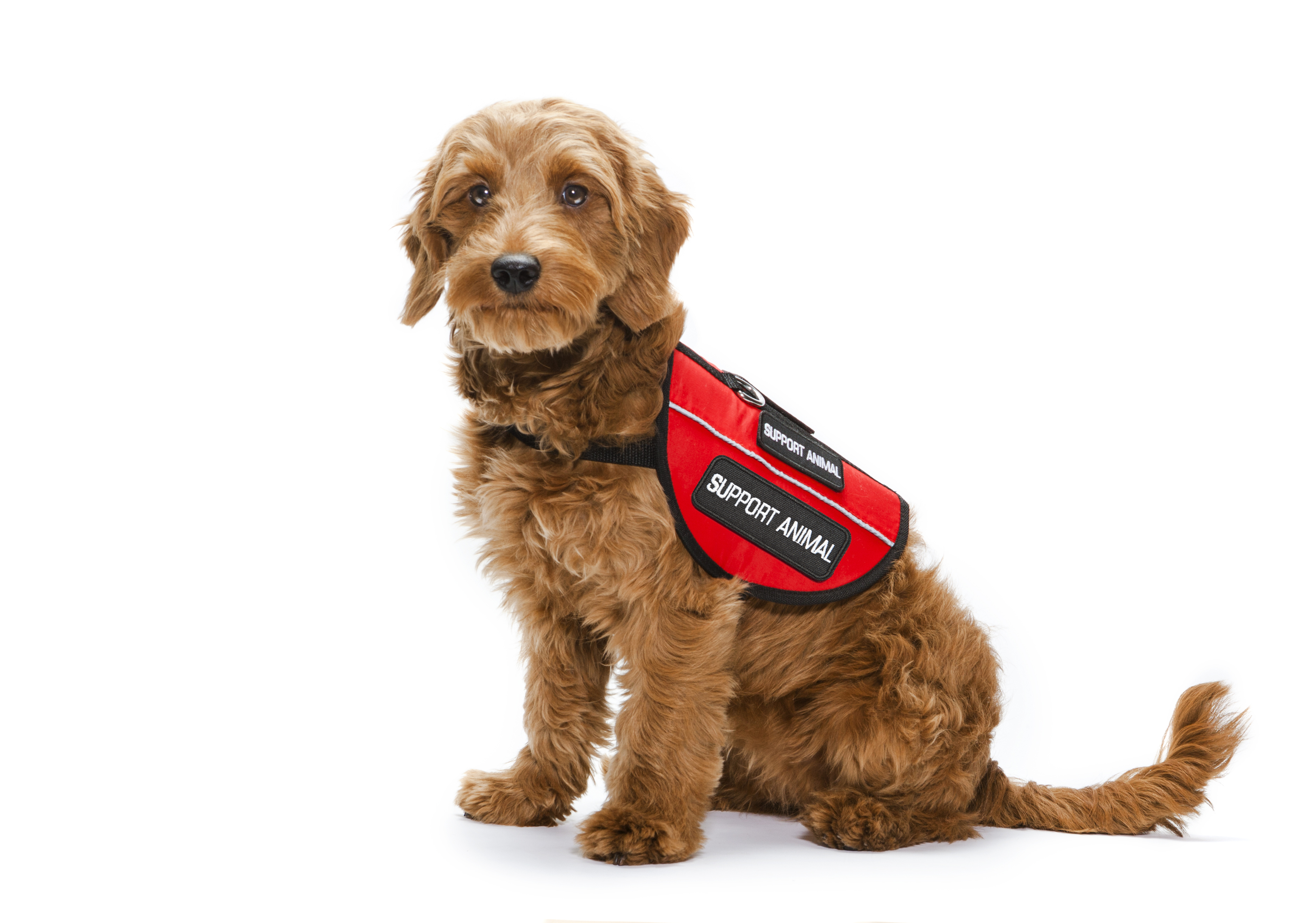 Facts You keep Forgetting About Emotional Support Dog Vest