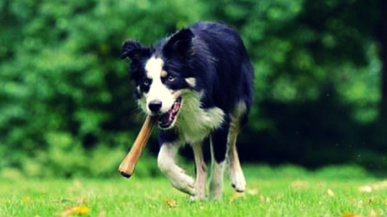 A dog playing with a stick