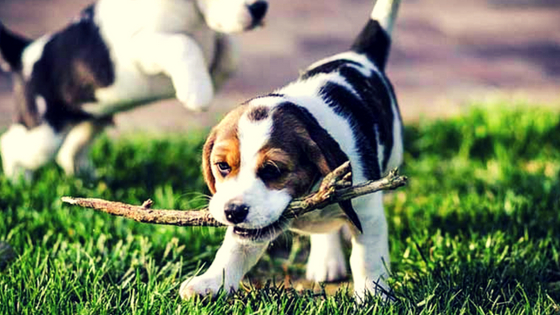 Beagle playing on grass