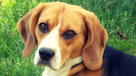 Image of: Brwe Beagles Therapy Pet 11 Best Miniature Dog Breeds For Therapy Therapy Pet