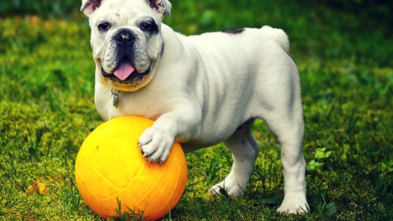 BullDog playing with ball