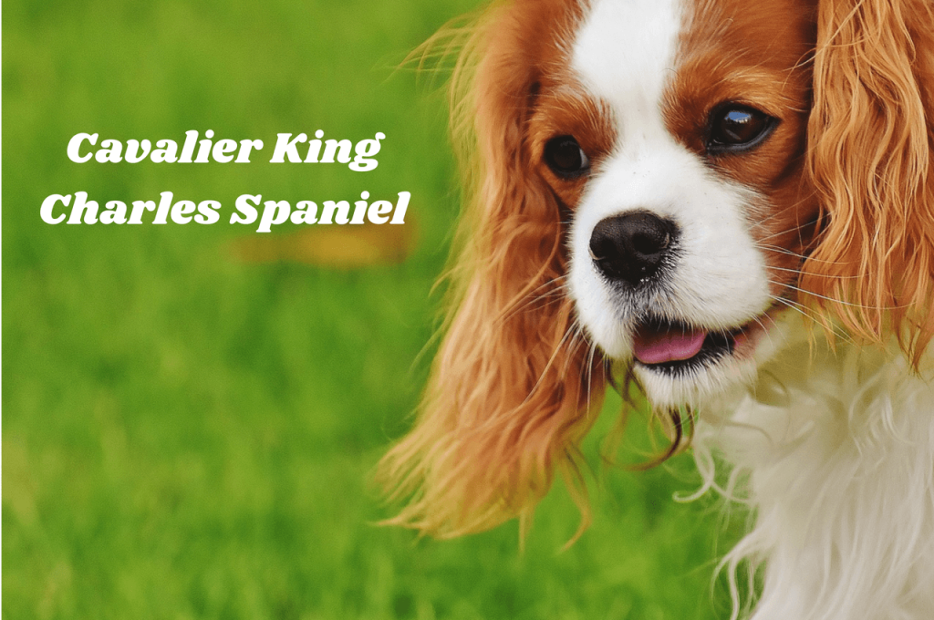 King Charles Spaniel in grass