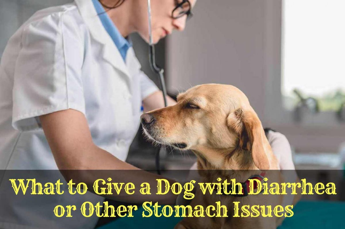 What to Give a Dog with Diarrhea or Other Stomach Issues
