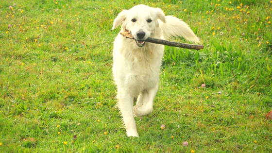 Golden Retriever playing with a stick