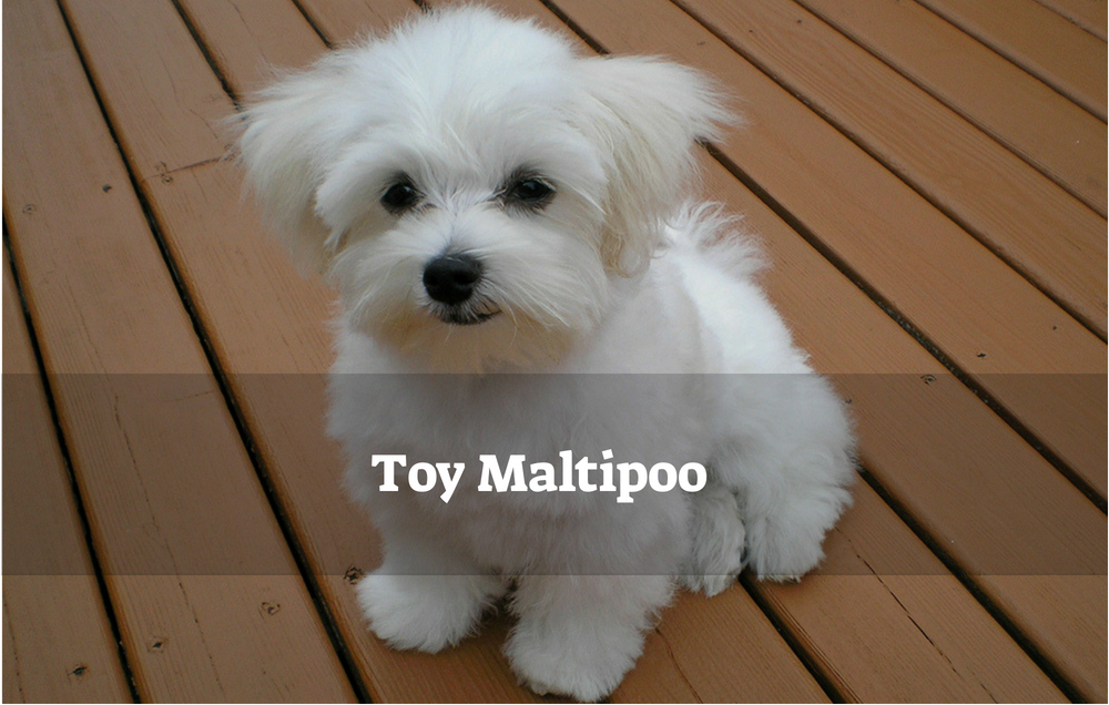 Maltipoo playing toy