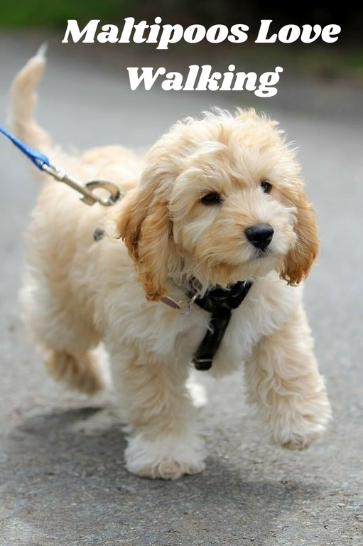 Maltipoos: Meet the Fluffy Dog of Your Dreams | Therapy Pet