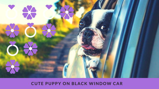 Cute puppy on black window car