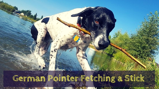 German Pointer Fetching a Stick