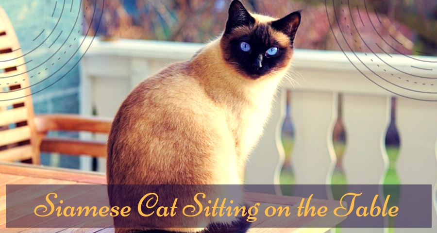 Siamese cat sitting on the table