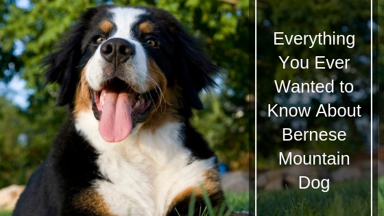 Everything You Ever Wanted to Know About Bernese Mountain Dog