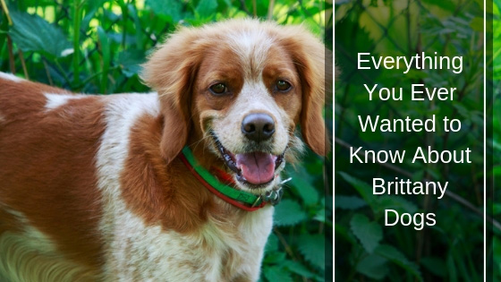 Everything You Ever Wanted to Know About Brittany Dogs
