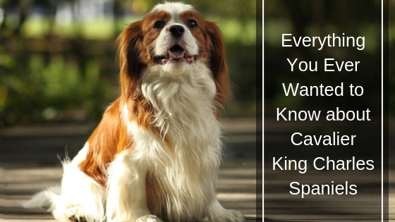 Image of: Utah The Ultimate Guide Cavalier King Charles Spaniels Daily Mail Cavalier King Charles Spaniels Care History Guide