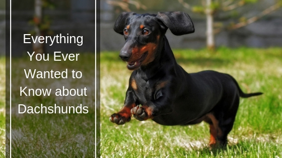 Everything You Ever Wanted to Know About Dachshunds