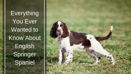 Everything You Ever Wanted to Know About English Springer Spaniel