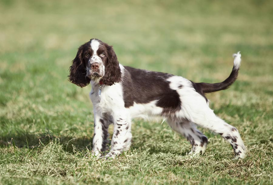 English Springer Spaniel Future Owners Should Read This