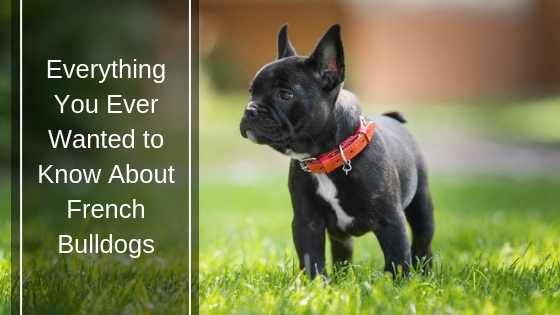 Everything You Ever Wanted to Know About French Bulldogs