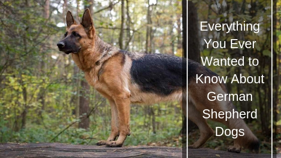 Everything You Ever Wanted to Know About German Shepherd Dogs