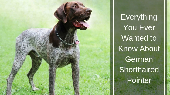 Everything You Ever Wanted to Know About German Shorthaired Pointer