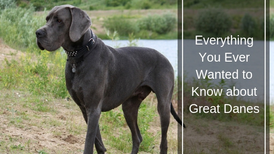 Everything You Ever Wanted to Know About Labrador Retrievers