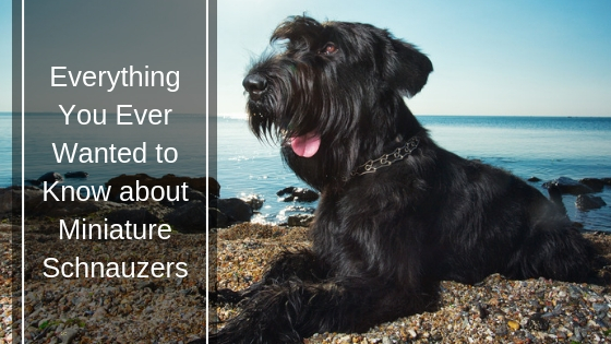 Everything You Ever Wanted to Know About Miniature Schnauzers