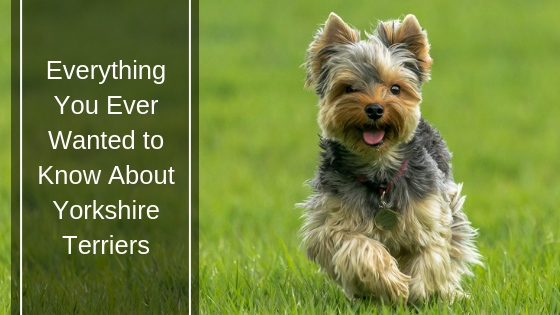 Everything You Ever Wanted to Know About Yorkshire Terriers HI