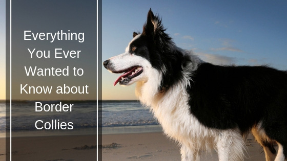 Everything You Ever Wanted to Know about Border Collies