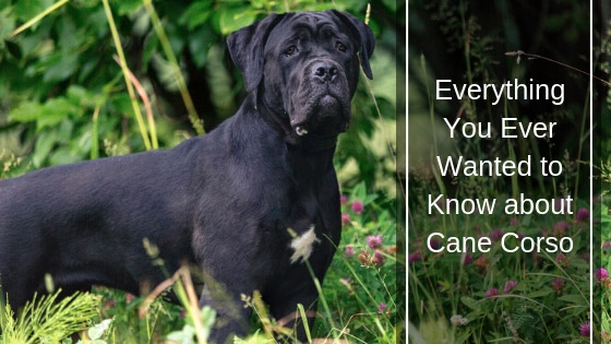 Cane Corso All About This Confident Dog Breed