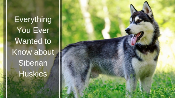 Everything You Ever Wanted to Know about Siberian Huskies