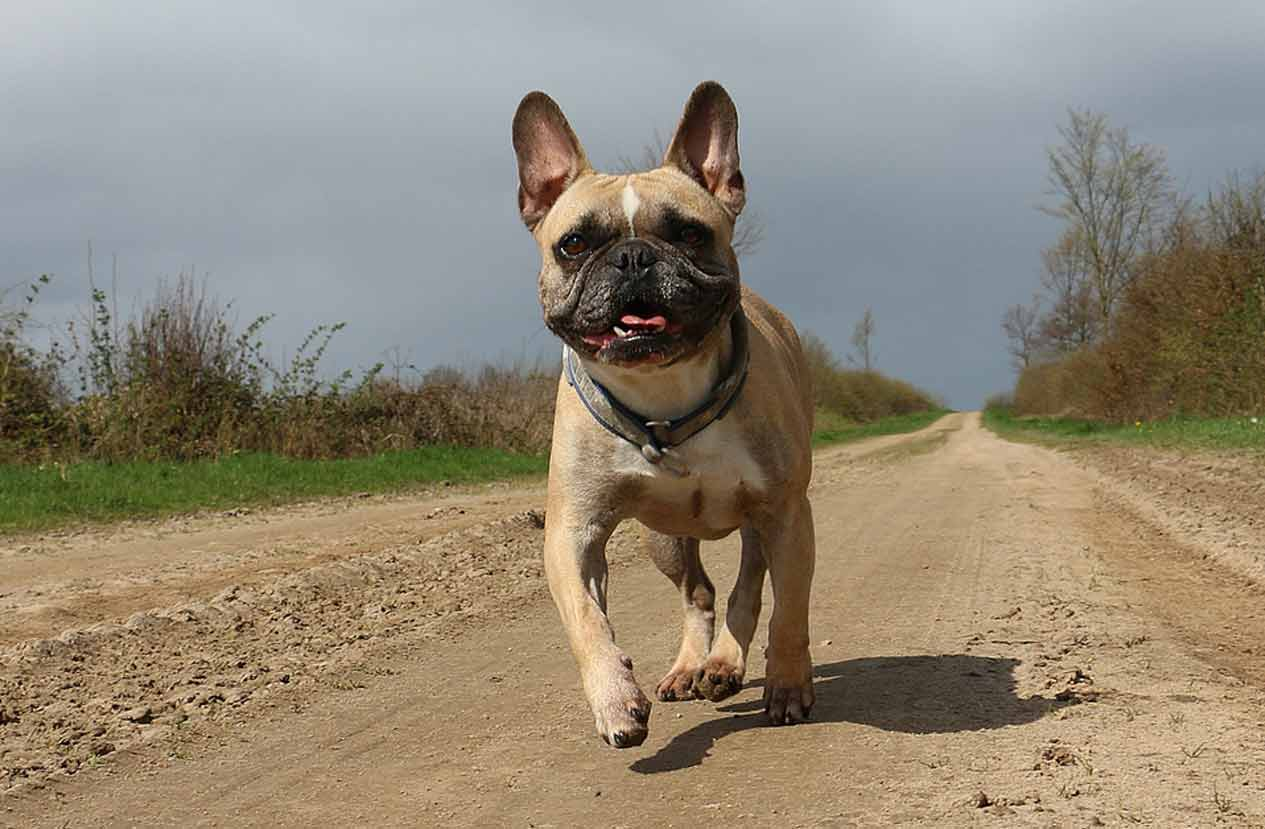 French Bulldogs Exercise