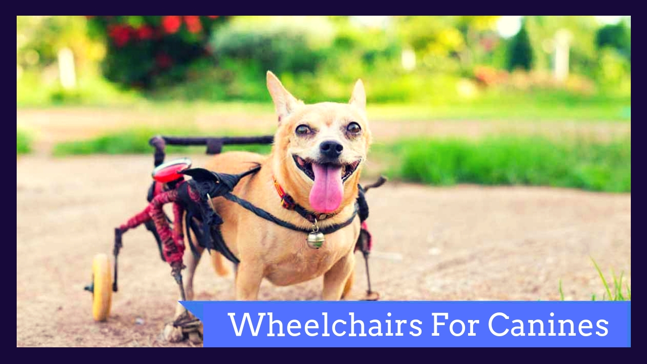 Wheelchairs For Canines!
