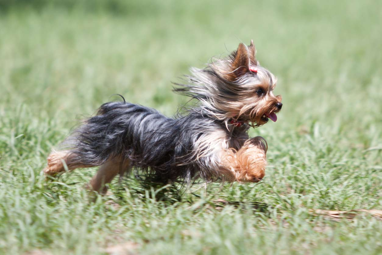 Yorkshire Terriers Exercise