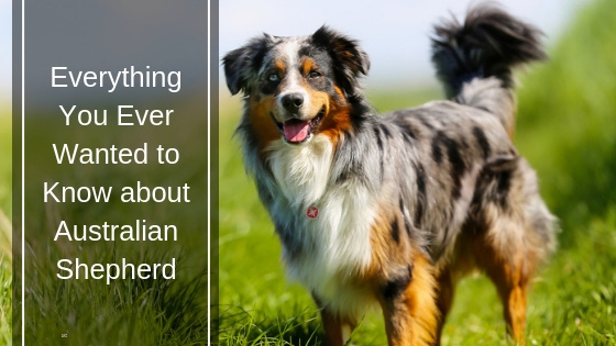 Everything You Ever Wanted to Know About Australian Shepherd