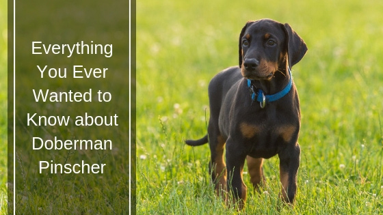Everything You Ever Wanted to Know About Doberman Pinscher