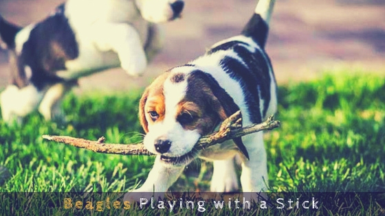 Beagles Playing with a Stick
